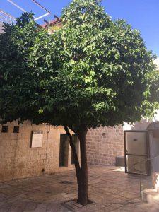 Orange Tree in the Old City